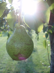 pic of pear in sun